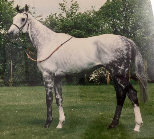 grey salute racehorse
