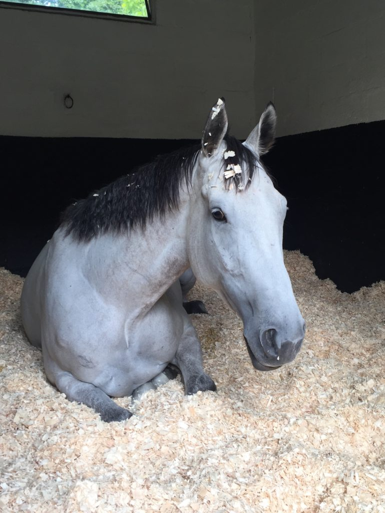racehorse lying down in stable